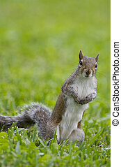 Eastern Gray Squirrel in green grass