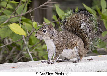 Eastern Gray Squirrel on a Deck Railing - Eastern Gray...