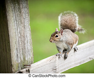 Eastern Gray squirrel on a fence in a park.