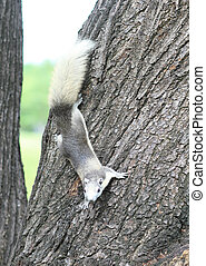 Eastern gray squirrel on a tree.