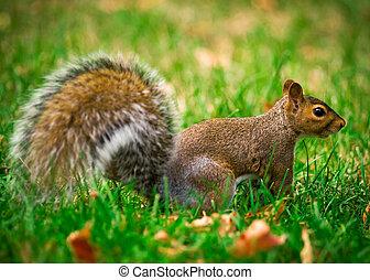 Eastern Gray Squirrel Profile