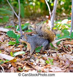 Eastern Gray Squirrel Sciurus carolinensis on park floor