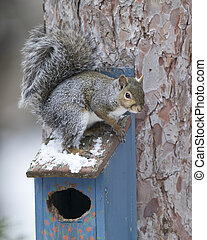Eastern Gray Squirrel sitting on top of a bird house in winter