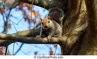Eastern Gray Squirrel Squirrel eats nuts stare, tail, tree, wild, wildlife