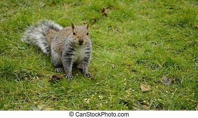 eastern gray squirrel - eastern gray or grey squirrel eating...