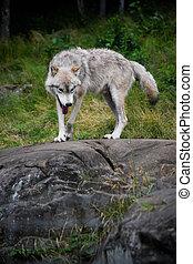 Eastern Gray Wolf Walking on Large Rock