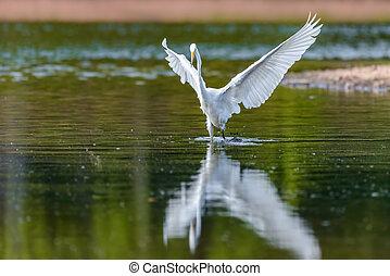 Eastern Great White Egret in Flight