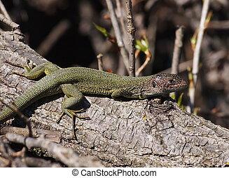Eastern Green Lizard  in spring