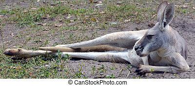 Eastern grey kangaroo female lying on the ground in Gold ...