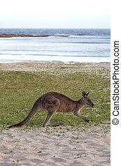 Eastern Grey Kangaroo (Macropus giganteus) in the evening ...