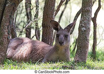Eastern Grey Kangaroo (Macropus giganteus) lying in the ...