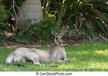 Eastern Grey Kangaroo (Macropus giganteus) lyingin the ...