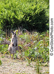 Eastern Grey Kangaroo (Macropus giganteus) in the Wilsons...