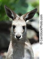 Eastern Grey Kangaroo  in Cairns Tropical Zoo