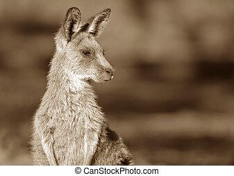 eastern grey kangaroo sepia
