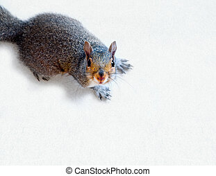 An eastern grey squirrel staring into the camera standing on a light grey textured surface.