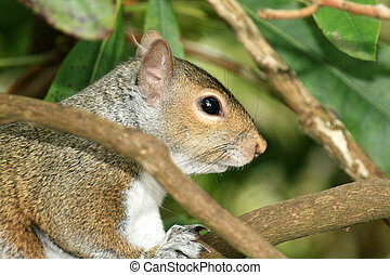 Eastern Grey Squirrel, Canada - Stanley Park, One of the...