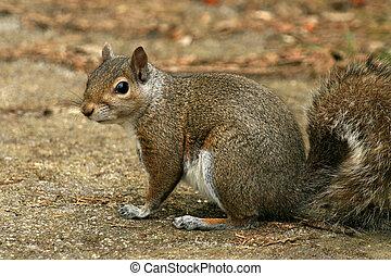 Eastern Grey Squirrel, Canada