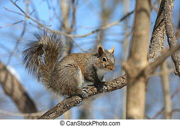 eastern grey squirrel sitting on branch in morning sun profile shot