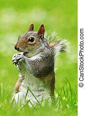 grey squirrel eating nut on lawn