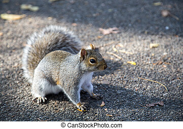 Eastern grey squirrel in a New York public park