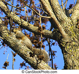 Eastern grey squirrel, (sciurus carolinensis)