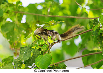 Eastern Grey Squirrel (Sciurus carolinensis) on tree -...