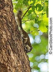 Eastern Grey Squirrel (Sciurus carolinensis) on tree -...