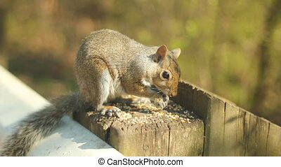 Eastern grey squirrel. - Young, eastern grey squirrel eating...
