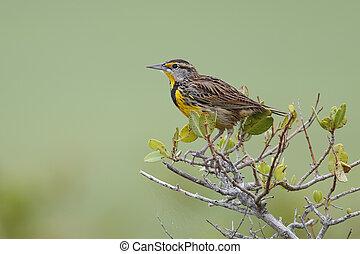 Eastern Meadowlark perched in a shrub - Florida