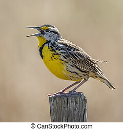Eastern Meadowlark Singing From a Fence Post - Florida