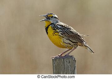 Eastern Meadowlark Singing on a Fence Post
