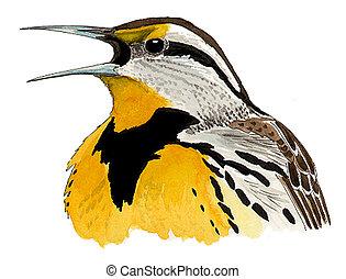 Eastern Meadowlark - Sturnella magna - head
