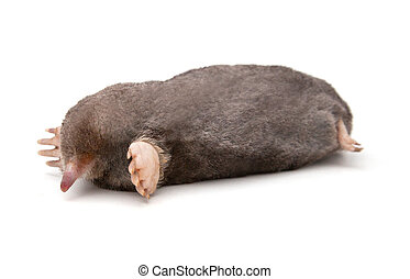 Eastern Mole (Scalopus aquaticus) on a white background