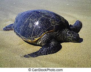Eastern Pacific Green Sea Turtle