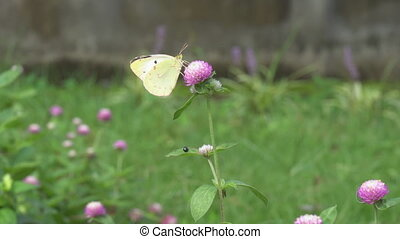 eastern pale clouded yellow and trifolium pratense - Tokyo,...