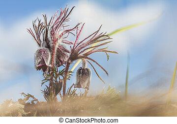Eastern pasqueflower, prairie crocus, cutleaf anemone. -...