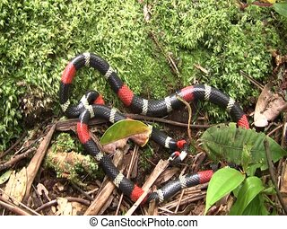 Eastern ribbon coral snake (Micrurus lemniscatus) - In the...
