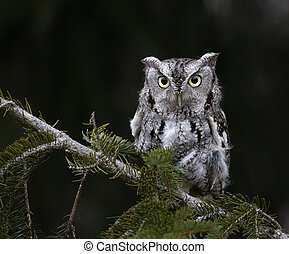 Eastern Screech Owl and Copyspace - A Gray Morph of an...