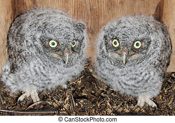 Eastern Screech-Owl Chicks - Baby Eastern Screech-Owls...