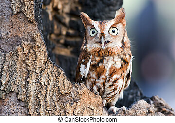 Eastern Screech Owl - Eastern screech owls are found in two...