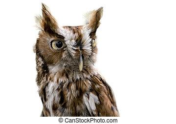 Eastern Screech Owl Isolated - Portrait of an Eastern...