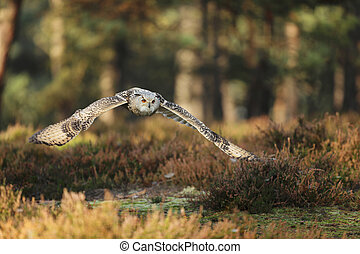 Eastern Siberian Eagle Owl flying in forest - Bubo bubo ...