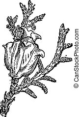 Eastern White Cedar or Thuja occidentalis, vintage engraving
