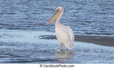 Eastern-white pelican, Pelecanus onocrotalus, single bird by...