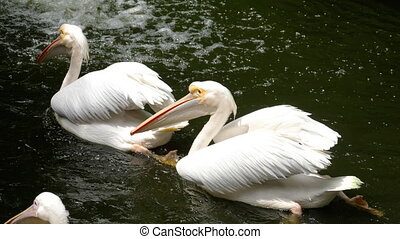 Eastern white pelicans - Group of great white pelicans...
