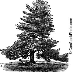 Eastern White Pine or Pinus Strobus, vintage engraving.