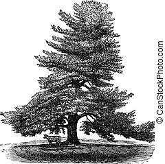 Eastern White Pine or Pinus Strobus, vintage engraving. - ...