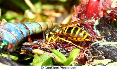 Eastern Yellowjacket Eating Snake - Eastern Yellowjacket...