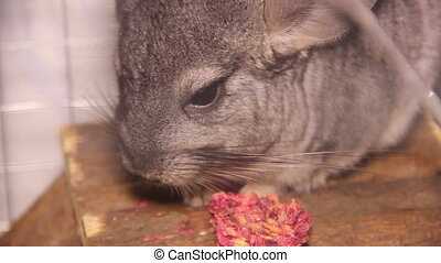 eating chinchilla